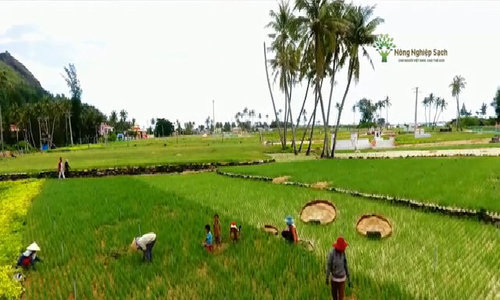 'Vương quốc tỏi' Lý Sơn thu 2.200 tấn mỗi vụ