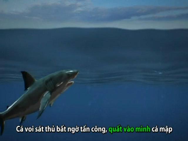 Chiến thuật săn cá mập trắng moi gan của cá voi sát thủ