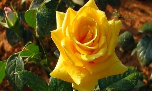 Gần 100 triệu cành hồng Đà Lạt xuất ra thị trường mỗi năm
