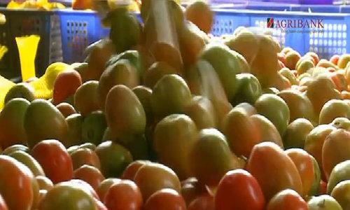 Gần 300ha cà chua Mộc Châu sai quả cả 4 mùa