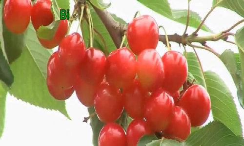Trang trại cherry 'vừa hái vừa ăn' ở Nhật Bản