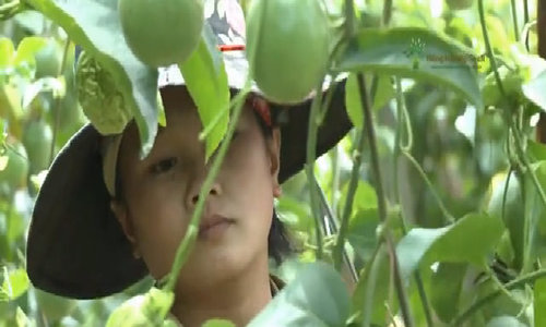 Cánh đồng chanh leo 500ha trĩu quả ở Mộc Châu