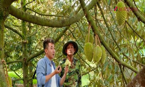 Thu 20 tỷ đồng nhờ bỏ phố lên rừng trồng sầu riêng