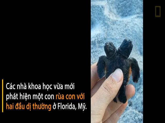 Phát hiện rùa con hai đầu mới nở đang cố bơi ra biển