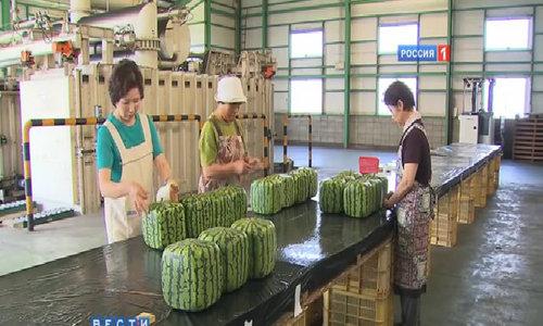 Dưa hấu vuông không ngon nhưng đắt đỏ ở Nhật Bản