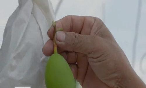 Xoài ba màu trồng theo chuẩn VietGap ở An Giang