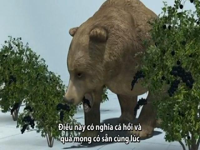 Gấu chuyển sang ăn chay do biến đổi khí hậu