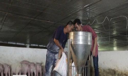 Mô hình nuôi lợn, thả cá trê ở Quảng Nam