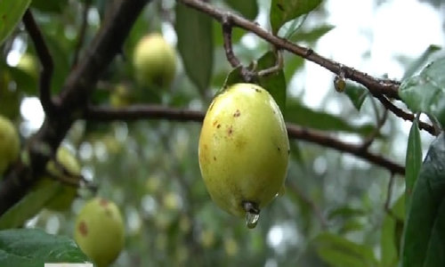 Mù Cang Chải nhân trồng hơn 1200ha táo mèo