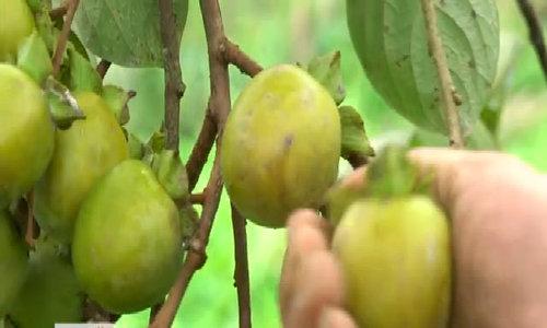 Thu hoạch hồng không hạt gần 100 tuổi ở Bắc Kạn