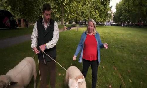 Những chú cừu dọn cỏ trước cung điện Buckingham