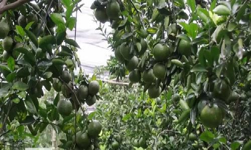 Thu tiền tỷ từ cây cam sành trên đất sỏi