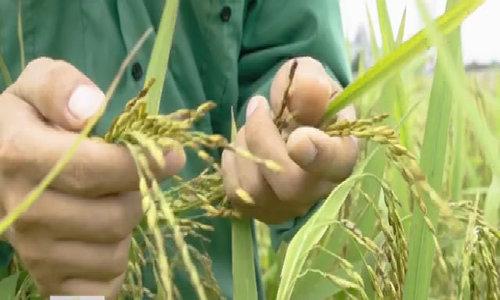 Lúa gạo Thái Bình từ phòng nghiên cứu ra đồng ruộng