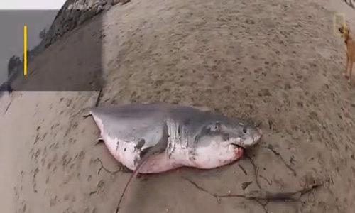 Quá trình tìm thủ phạm ăn não biến cá mập thành xác sống