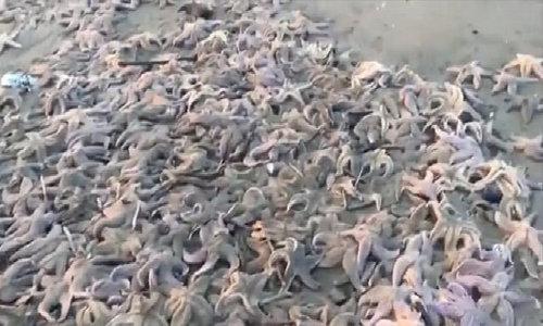 Hàng nghìn sao biển bất ngờ chết hàng loạt tại Nga