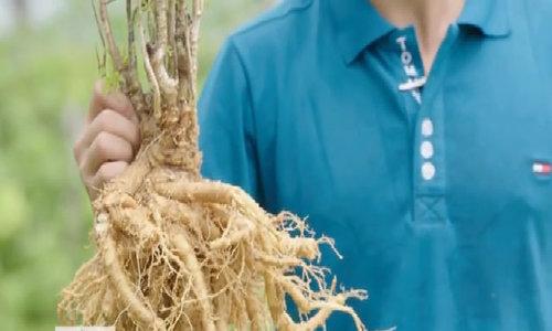 25ha trồng 'nhân sâm cho người nghèo'
