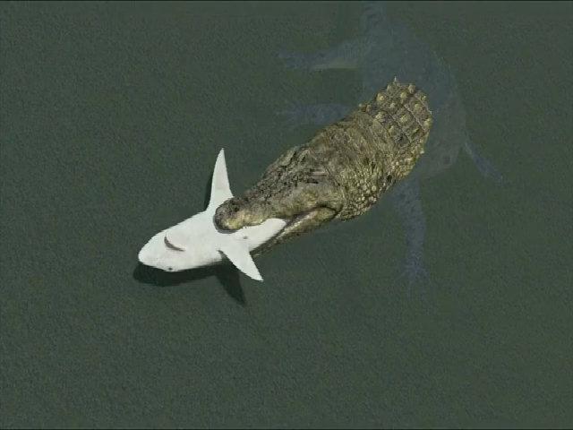 Cá sấu ăn thịt cá mập ở ven biển Mỹ