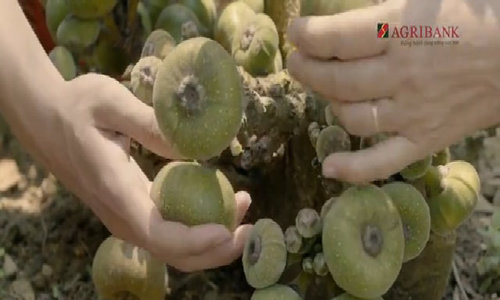 Trà quả vả