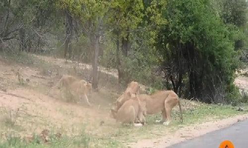 Bị truy đuổi, hươu đực lao thẳng vào giữa bầy sư tử nộp mạng