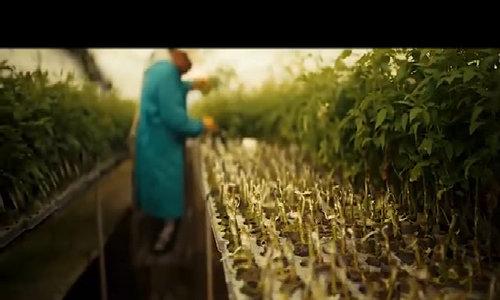 Quy trình trồng và đóng gói hơn 90 triệu bông hồng Ecuador