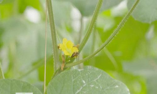 Nuôi ong ruồi thụ phấn cho vườn dưa lưới công nghệ cao