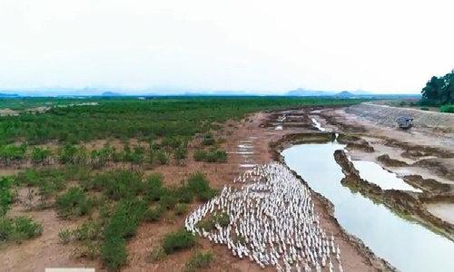 Nông dân Quảng Ninh nuôi vịt biển ven rừng ngập mặn