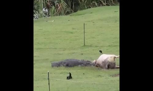 Cá sấu xé xác bò trước mặt gia đình Australia