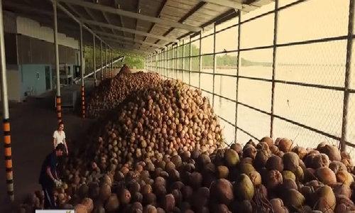 Bến Tre cung cấp 550.000 tấn dừa cho thị trường mỗi năm