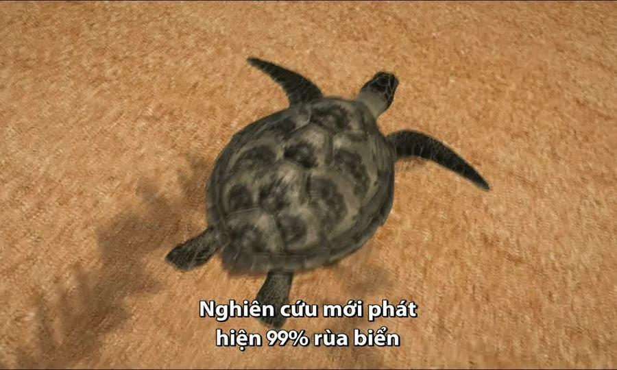 Thủ phạm khiến rùa biển đực biến mất dần