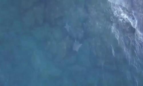Cá đuối rẽ ngoặt thoát hàm cá mập trong gang tấc