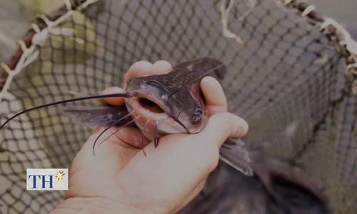 300 lồng cá ngạnh sông Đà ăn tỏi, vitamin C để phòng bệnh