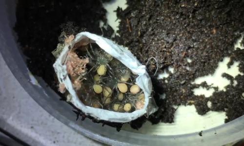 Bọc trứng nhện độc nhất thế giới khiến nhà nghiên cứu vui mừng