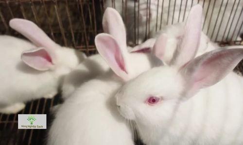 Đàn thỏ nghìn con nuôi lấy thịt xuất khẩu sang Nhật