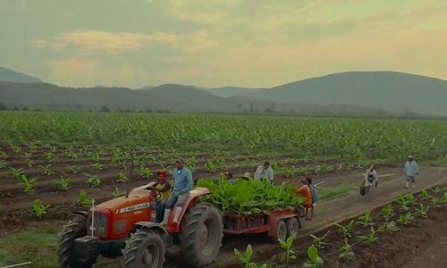 Chuối đi cáp treo từ vườn đến nhà máy ở Mexico