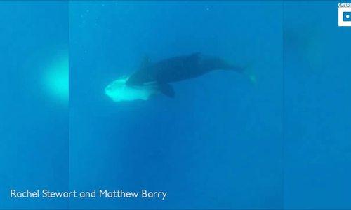 Đàn cá voi sát thủ 'tung hứng' cá mặt trăng