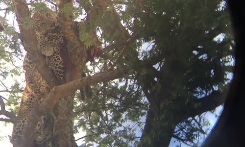 Báo đốm ăn thịt đồng loại trong công viên Tanzania