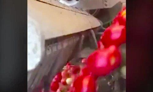Cỗ máy thu hoạch được 7ha cà chua mỗi ngày