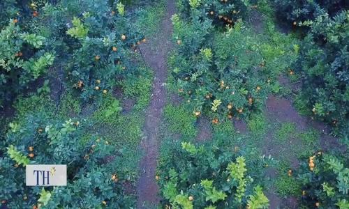 Bí quyết trồng cam cho quả quanh năm của người Mộc Châu