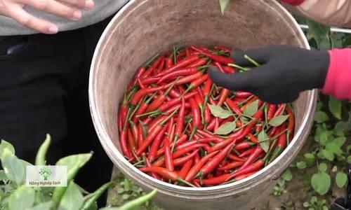 Ngôi làng 30 năm bám nghề trồng ớt, làm tương