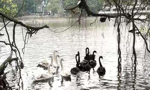 Hà Nội thả chim Thiên nga gắn định vị trên hồ Hoàn Kiếm