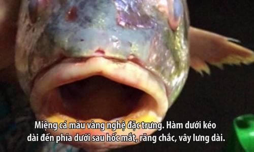 Cá sủ vàng dần biến mất trên sông Lam