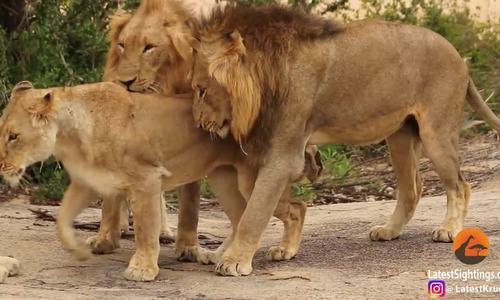 Ba sư tử đực thay phiên nhau giao phối với sư tử cái