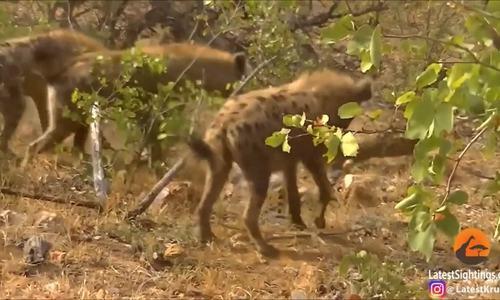 Báo hoa mai bị đàn linh cẩu vây đánh