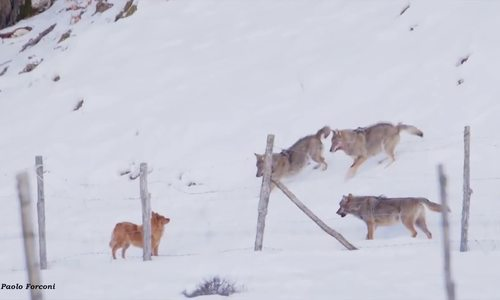 Chó thông minh đột phá vòng vây của bầy sói