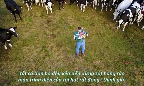 Nông dân Mỹ thổi kèn trumpet cho bò nghe