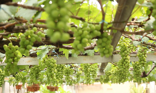 Vườn nho trĩu quả của lão nông ở Sài Gòn