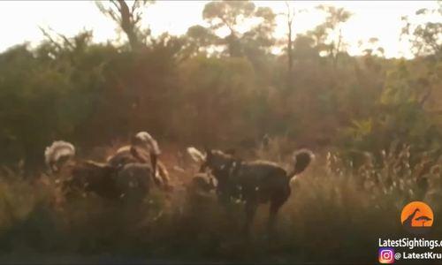 Linh cẩu xông vào giữa bầy chó hoang để đoạt mồi