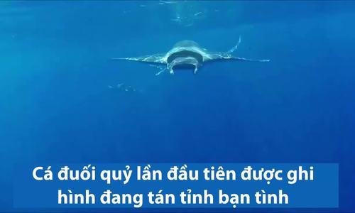 Cá đuối quỷ mang thai bị 4 con đực truy đuổi đòi giao phối