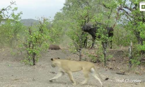 Trâu mẹ đánh đuổi 14 sư tử bảo vệ xác con