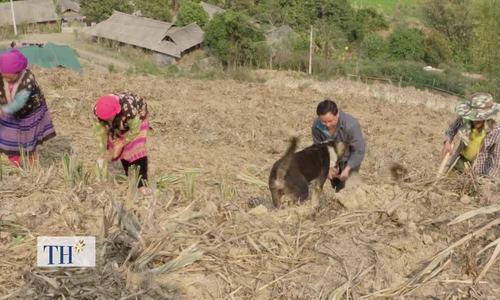 61 ha dứa phủ xanh đồi trọc ở Mường Chà